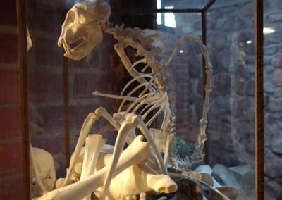 Baboon skeleton display